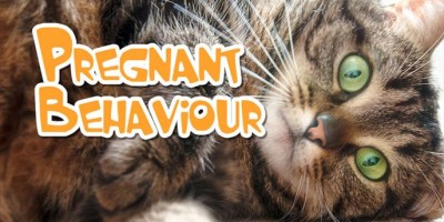 Pregnant cat behaviour